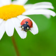 Ladybug on a camomile flower — Foto de Stock