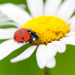Ladybug on a camomile flower — Stock Photo