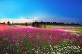 Blossoming field — Stock Photo