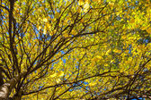 Trees with yellow leaves — Stock Photo