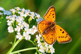 Papillon est assis sur les fleurs blanches — Photo