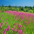 Rural landscape with a blossoming meadow — Stock Photo