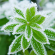 Green grass in hoarfrost — Stockfoto