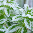 Green grass in hoarfrost — Stock Photo