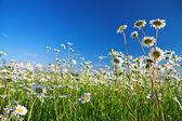 Flor de margaritas — Foto de Stock