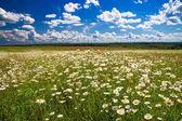 Daisies blossom — Stock Photo
