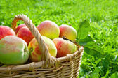 Harvesting of apples in the autumn — Stock Photo