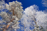 Trees in the winter covered with snow — Stock Photo