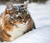 Cat on sits on snow — Stock Photo