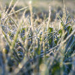 Green grass in hoarfrost — Stock Photo #33923471