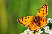 Butterfly sits on white flowers — Foto de Stock