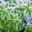 Green grass in hoarfrost — Stock Photo #36002901