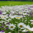 Blossoming summer meadow with daisies — ストック写真
