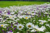 Floraison pré d'été avec marguerites — Photo
