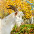 Goat is grazed on a meadow — 图库照片