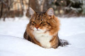 Cat on sits on snow — ストック写真