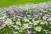 Blossoming summer meadow with daisies — Stock Photo