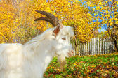 Goat is grazed on a meadow — Stok fotoğraf