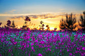Summer sunrise over a blossoming meadow — Stock Photo