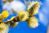 Branches of a willow blossom in the spring — Foto Stock