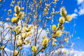 Branches of a willow blossom in the spring — Stock Photo