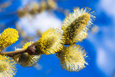 Branches of a willow blossom in the spring — Foto de Stock