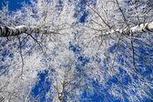 árvores no inverno coberto de neve — Foto Stock