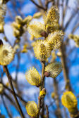 Branches of a willow blossom in the spring — Стоковое фото