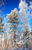 Winter landscape with the wood and the blue sky — Stock fotografie