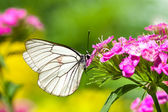 Butterfly sits on flowers — Stock Photo