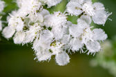 White flowers are covered with hoarfrost — Stock Photo