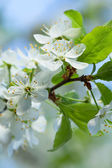 Agriculture blossoming of flowers of cherry on a tree — Stock Photo