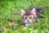 Котенок играет в зеленой траве — Стоковое фото