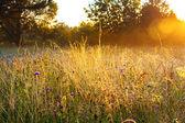 Sunrise over a summer blossoming meadow — Stock Photo