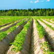 Potato field — Stock Photo #39128507