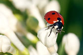The ladybug creeps on white flowers — Stock Photo