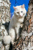Fluffy white cat with different eyes — Photo