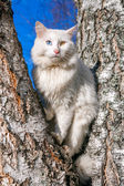 Fluffy white cat with different eyes — Stock Photo