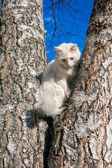 Fluffy white cat with different eyes — Stok fotoğraf