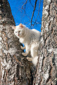 Fluffy white cat with different eyes — Zdjęcie stockowe