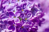 Flowers of a lilac blossom in the spring — Stock Photo