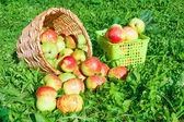 Skörd av röda saftiga mogna äpplen — Stockfoto