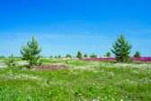 Summer landscape with the a blossoming meadow — ストック写真