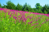 Summer landscape with the a blossoming meadow — Stock Photo