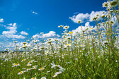 Summer rural landscape with a blossoming meadow and the blue sky — Stock Photo