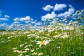 Sommaren landsbygdens landskap med en blommande äng och den blå himlen — Stockfoto