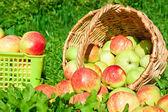 Harvesting of red juicy ripe apples — Stock Photo