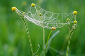 Web with drops of dew and a spider — Stock Photo