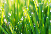 Green grass on a lawn with dew drops — Stock Photo