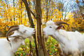 Goats is grazed on a meadow — Foto de Stock